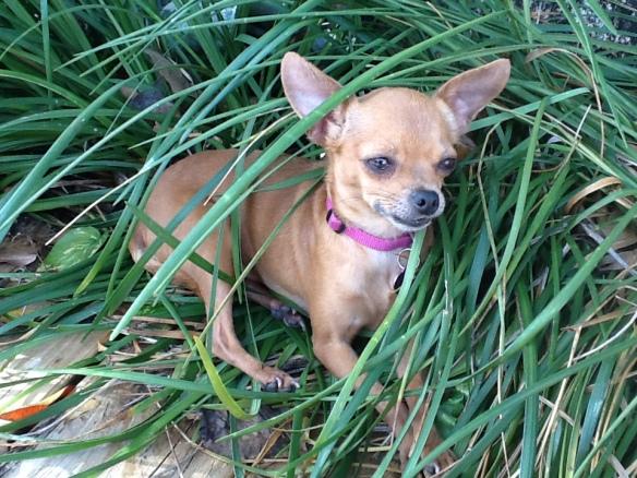 BeBe loves being a Florida dog!