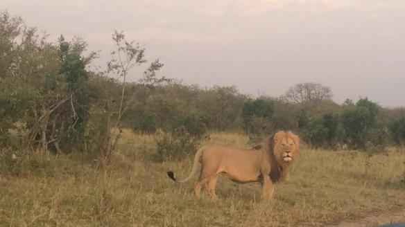 BEAUTIFUL LION - WE SAW A MOMMA AND 3 CUBS THE EVENING BEFORE.