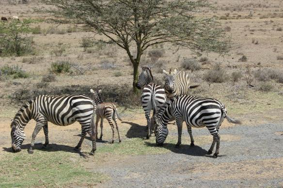 ZEBRA... SEE THE BABY?